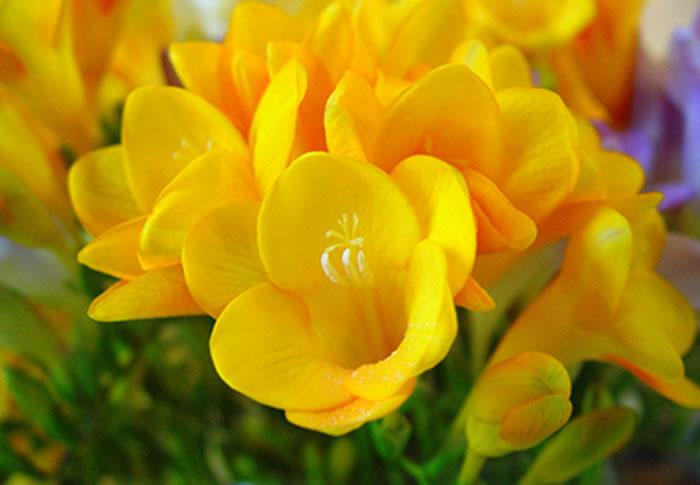 flores de fresias amarillas