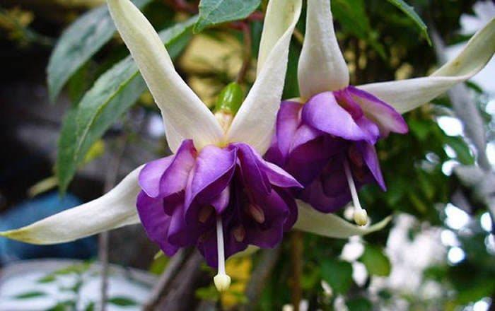 Flores de Fuchsia hybrida
