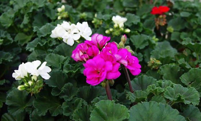 flores de geranio magenta y blancas