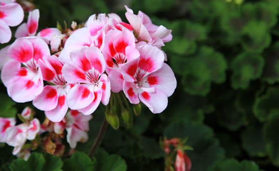 Flores de geranios 1