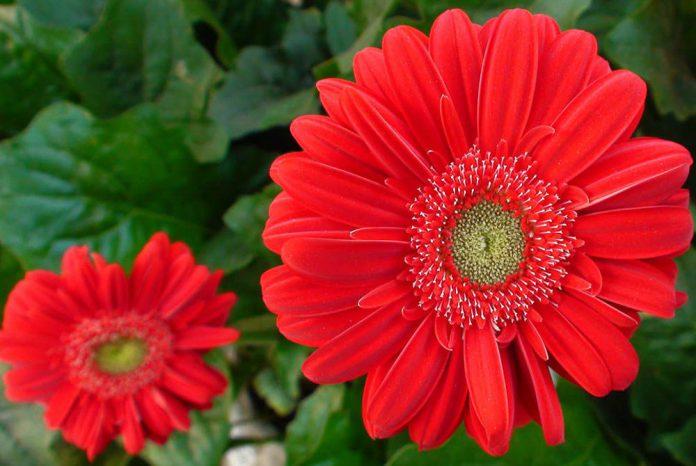 Flores de Gerbera híbrida