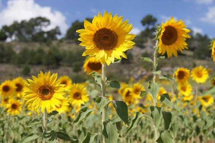 flores de girasoles
