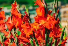 Flores de gladiolo