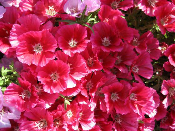 Flores de Godetia híbrida