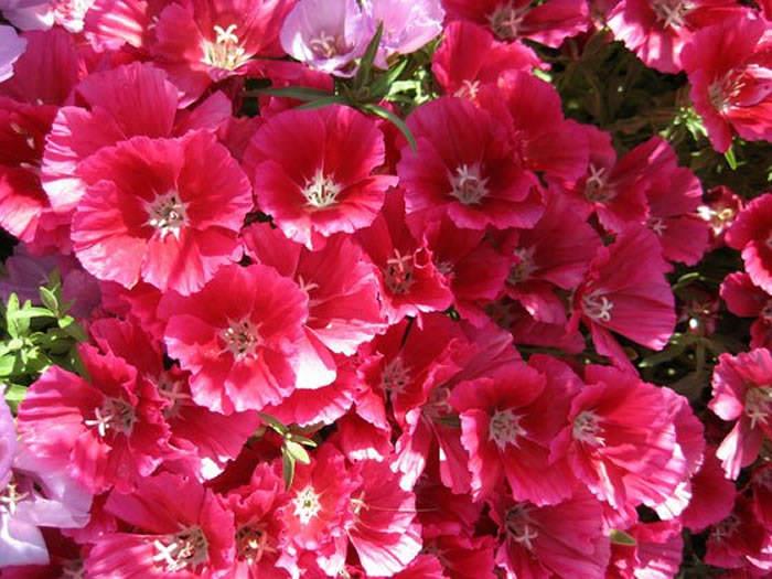 flores de godetia rosa