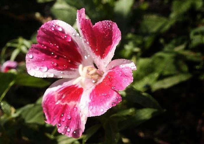 flores de godetia