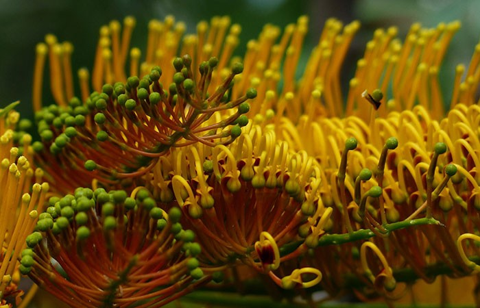Flores de Grevillea robusta
