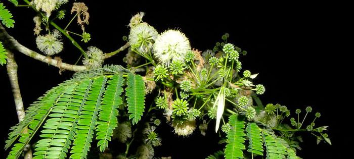Flores de Guanacaste