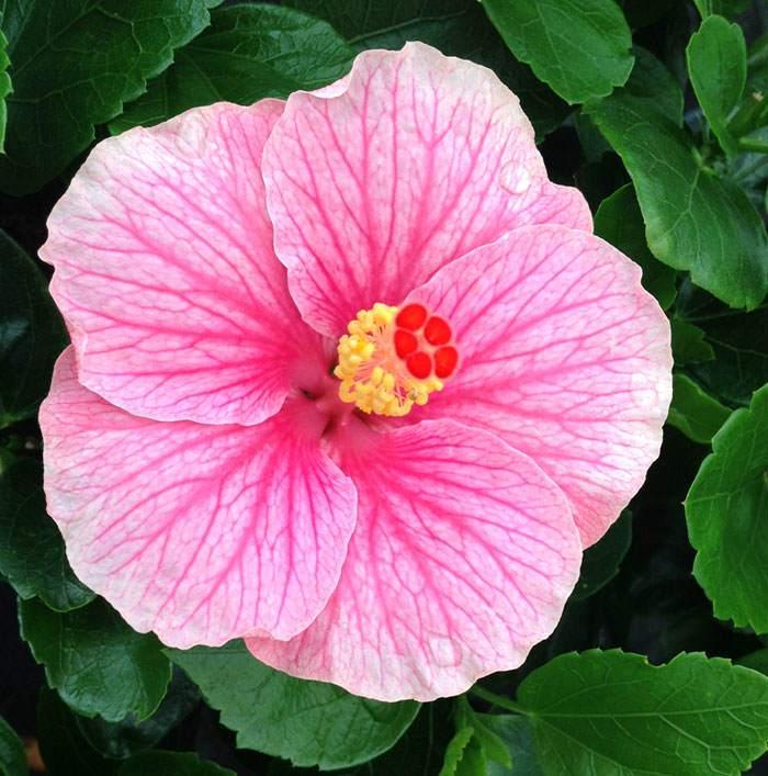 Flores de Hibiscus Yupla