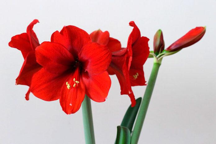 Flores de Hippeastrum cinderella