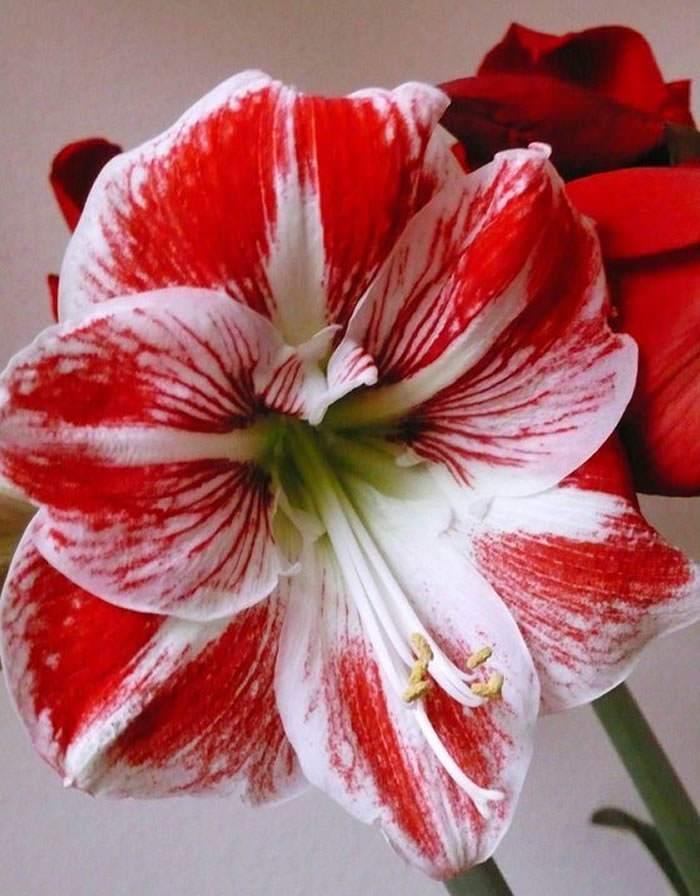 Flores de Hippeastrum