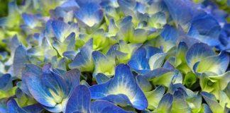 Flores de hortensia azules