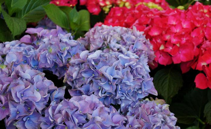 Cómo potenciar el color azul de sus flores