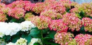 Flores de hortensias blancas y rosas