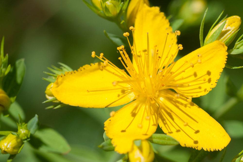 Hypericum perforatum |  Revista de Flores, Plantas, Jardinería ...