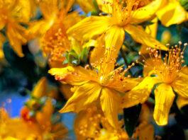 Flores de Hypericum perforatum