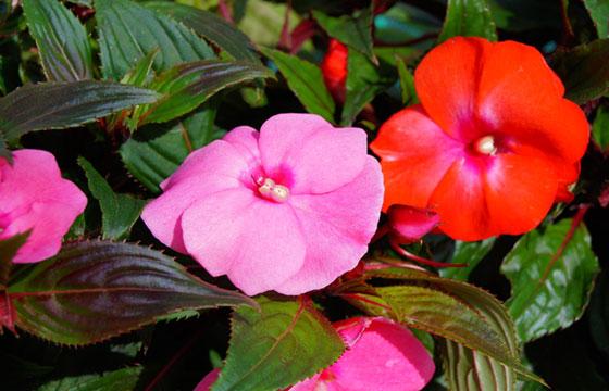 Flores de primavera de impatiens