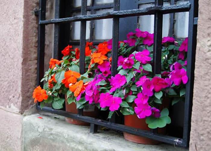 flores de impatiens walleria