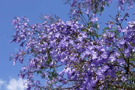 Flores de Jacaranda mimosifolia