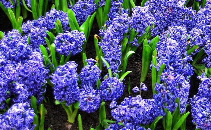 Flores de Jacinto azules