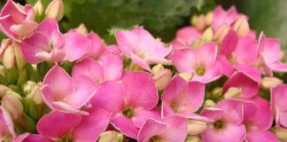 Flores de Kalanchoe blossfeldiana