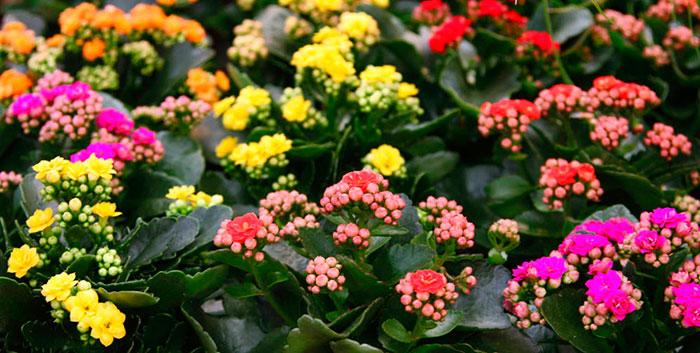Flores de kalanchoe