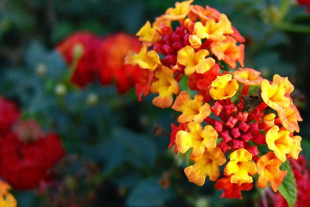 Flores de Lantana cámara
