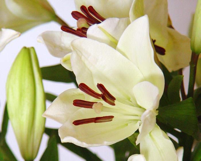 Flores de Lilium asiático blancas