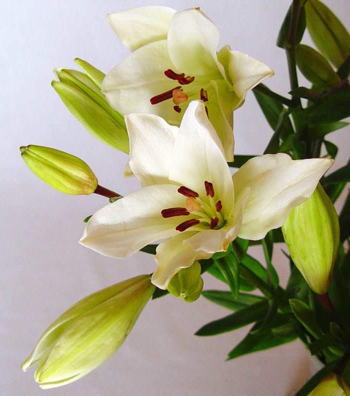 Flores de Lilium asiático