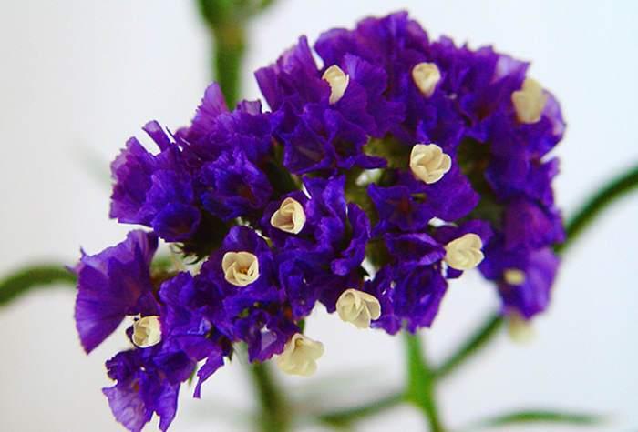 Flores de Limonium sinuatum azules