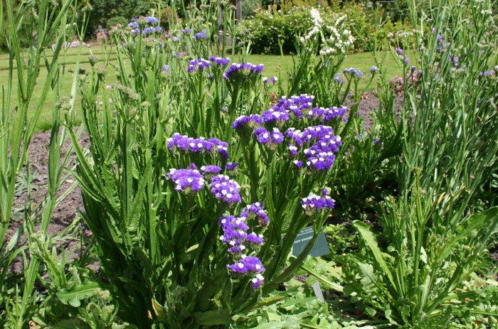 Limonium sinuatum en jardín