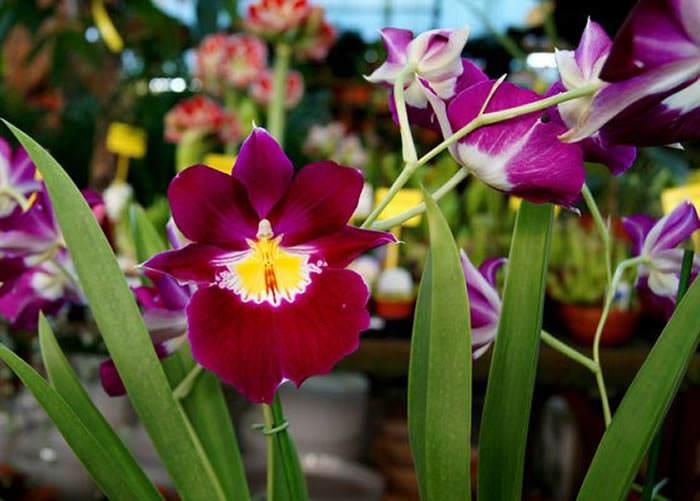 flores de miltonia