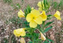 Flores de Oenothera glazioviana