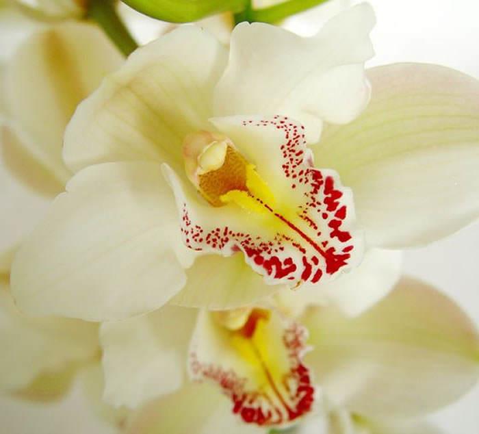 flores de orquideas coleccionistas