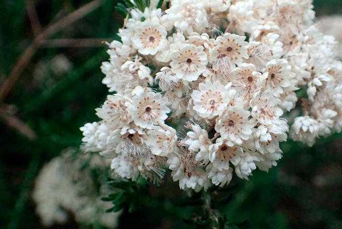 flores de Ozothamnus rosmarinifolius