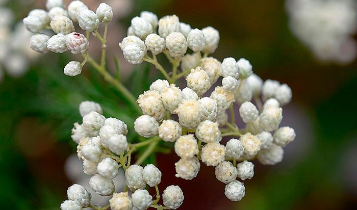 Flores de Ozothamnus