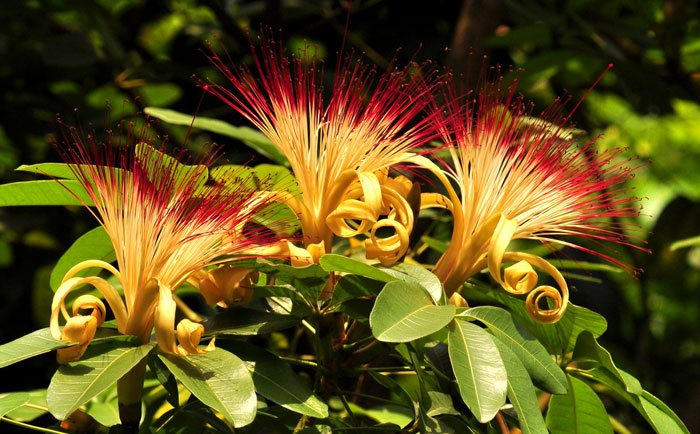 Flores de Pachira aquatica