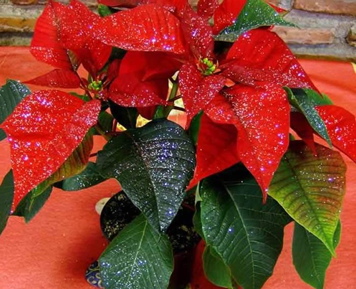 Los cuidados de la poinsettia - Cuidados planta navidad ...
