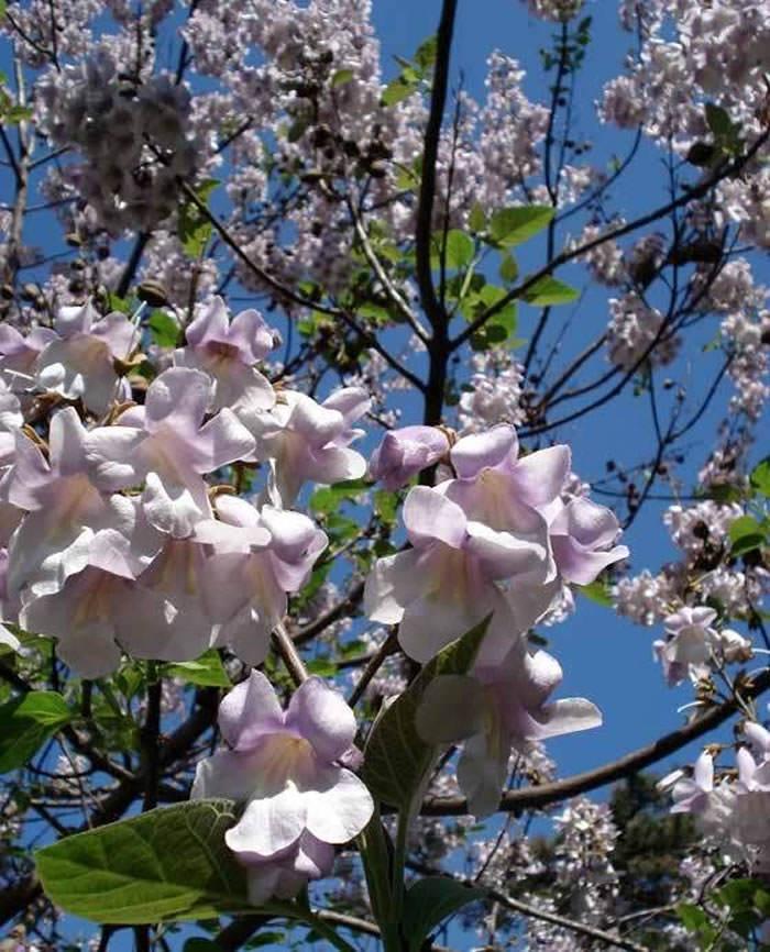 flores de paulownia tomentosa