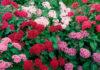 Flores de Pentas lanceolata