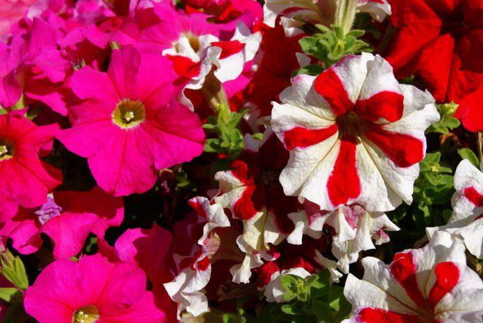 Flores de petunia grandiflora