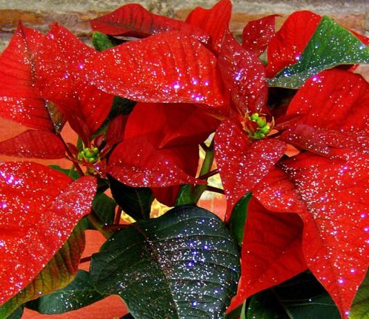 Flores de Poinsettia roja