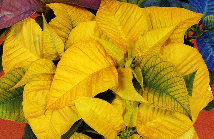 Flores de Poinsettias amarillas