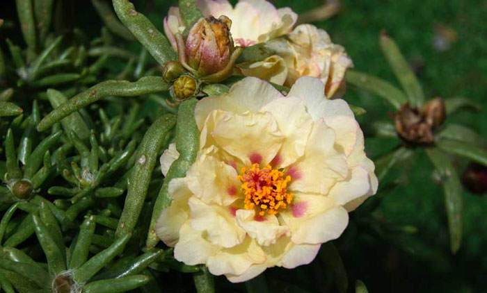 Flores de Portulaca grandiflora