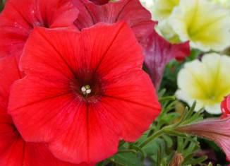 Flores de Petunias Potinias
