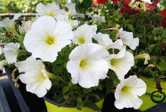 Flores de Potunias blancas