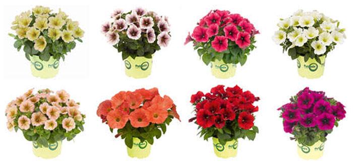 Flores de Potunias