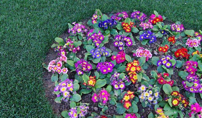 Primula acaulis - Arriate plantas ...