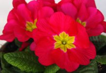 Flores de Primula acaulis