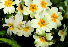 Flores de primulas